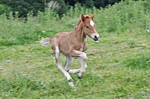 Islandpferdezucht Gut Tiergarten - Galopp