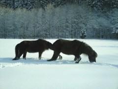 Haltung -Islandpferdezucht Gut Tiergarten